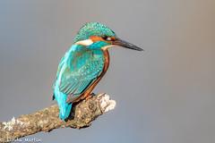 Kingfisher (Linda Martin Photography) Tags: kingfisher wildlife nature bird northbourne riverstour dorset uk alcedoatthis coth coth5 ngc naturethroughthelens npc specanimal
