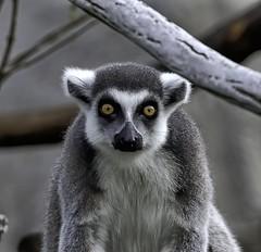 Look Into My Eyes (Darts5) Tags: lemur lemurs primate primates mammal animal nature 7d2 7dmarkll 7dmarkii 7d2canon ef100400mmlll closeup canon7d2 canon7dmarkii canon7dmarkll canon canonef100400mmlii
