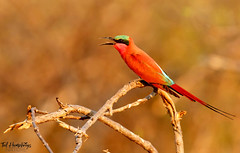 Carmine Bee Eater calling (Medium) (Ted Humphreys Nature) Tags: carminebeeeater beeeaters birds okavangodelta botswana africa tedhumphreysnature