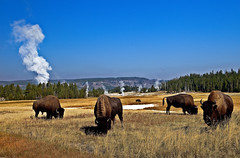 Bisons, bison bonasus, in Upper Geyser Basin, Yellowstone National Park, Wyoming, USA (klauslang99) Tags: klauslang nature naturalworld northamerica bisons buffaloes yellowstone national park hotspring