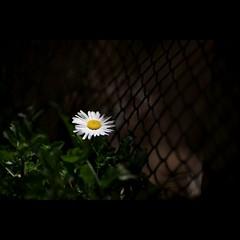 Night # 6 (alleys) Tags: 85mm 8512 night flower