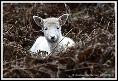 _DSC7320 (nowboy8) Tags: nikon nikond7200 nikond500 bradgatepark bradgate deer bambi oldjohn riverlin monkeypuzzletree rutting scenery leicestershire