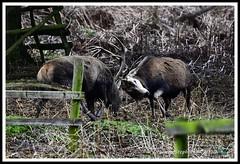 _DSC7303 (nowboy8) Tags: nikon nikond7200 nikond500 bradgatepark bradgate deer bambi oldjohn riverlin monkeypuzzletree rutting scenery leicestershire
