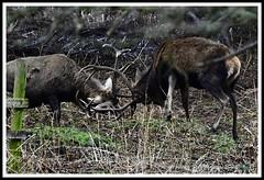 _DSC7297 (nowboy8) Tags: nikon nikond7200 nikond500 bradgatepark bradgate deer bambi oldjohn riverlin monkeypuzzletree rutting scenery leicestershire