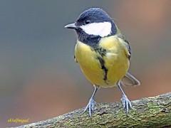 Carbonero común (Parus major) (23) (eb3alfmiguel) Tags: aves pájaro insectívoros paridae passeriformes carbonero común parus major