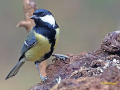 Carbonero común (Parus major) (17) (eb3alfmiguel) Tags: aves pájaro insectívoros paridae passeriformes carbonero común parus major
