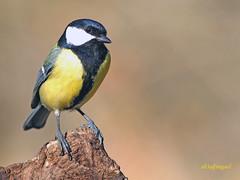 Carbonero común (Parus major) (5) (eb3alfmiguel) Tags: aves pájaro insectívoros paridae passeriformes carbonero común parus major