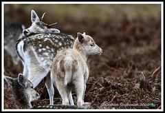 _DSC7247 (nowboy8) Tags: nikon nikond7200 nikond500 bradgatepark bradgate deer bambi oldjohn riverlin monkeypuzzletree rutting scenery leicestershire