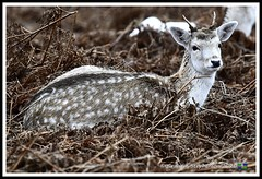 _DSC7235 (nowboy8) Tags: nikon nikond7200 nikond500 bradgatepark bradgate deer bambi oldjohn riverlin monkeypuzzletree rutting scenery leicestershire
