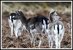 _DSC7234 (nowboy8) Tags: nikon nikond7200 nikond500 bradgatepark bradgate deer bambi oldjohn riverlin monkeypuzzletree rutting scenery leicestershire