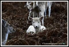 _DSC7230 (nowboy8) Tags: nikon nikond7200 nikond500 bradgatepark bradgate deer bambi oldjohn riverlin monkeypuzzletree rutting scenery leicestershire