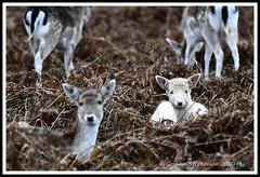 _DSC7224 (nowboy8) Tags: nikon nikond7200 nikond500 bradgatepark bradgate deer bambi oldjohn riverlin monkeypuzzletree rutting scenery leicestershire