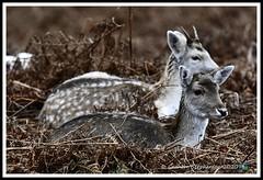 _DSC7220 (nowboy8) Tags: nikon nikond7200 nikond500 bradgatepark bradgate deer bambi oldjohn riverlin monkeypuzzletree rutting scenery leicestershire
