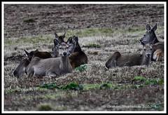 _DSC7202 (nowboy8) Tags: nikon nikond7200 nikond500 bradgatepark bradgate deer bambi oldjohn riverlin monkeypuzzletree rutting scenery leicestershire
