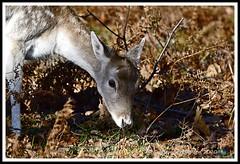 _DSC7188 (nowboy8) Tags: nikon nikond7200 nikond500 bradgatepark bradgate deer bambi oldjohn riverlin monkeypuzzletree rutting scenery leicestershire