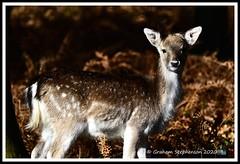 _DSC7184 (nowboy8) Tags: nikon nikond7200 nikond500 bradgatepark bradgate deer bambi oldjohn riverlin monkeypuzzletree rutting scenery leicestershire