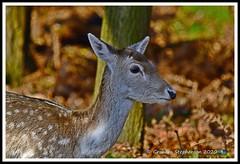 _DSC7177 (nowboy8) Tags: nikon nikond7200 nikond500 bradgatepark bradgate deer bambi oldjohn riverlin monkeypuzzletree rutting scenery leicestershire