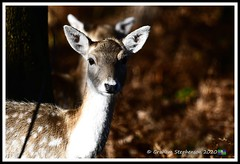_DSC7172 (nowboy8) Tags: nikon nikond7200 nikond500 bradgatepark bradgate deer bambi oldjohn riverlin monkeypuzzletree rutting scenery leicestershire