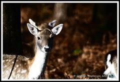 _DSC7171 (nowboy8) Tags: nikon nikond7200 nikond500 bradgatepark bradgate deer bambi oldjohn riverlin monkeypuzzletree rutting scenery leicestershire