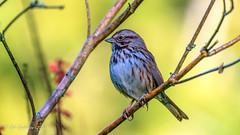 Song Sparrow (Bob Gunderson) Tags: birds botanicalgardens california goldengatepark melospizamelodia northerncalifornia sanfrancisco songsparrow sparrows sparrowsjuncostowhees