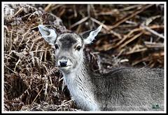 _DSC7155 (nowboy8) Tags: nikon nikond7200 nikond500 bradgatepark bradgate deer bambi oldjohn riverlin monkeypuzzletree rutting scenery leicestershire