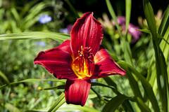 Hémérocalle  IMG_1493 (Paul_Paradis) Tags: blossom fleur flora floral flower jardin garden plant plante nature natural summer ete hemerocalle daylily macro canada quebec iledorleans