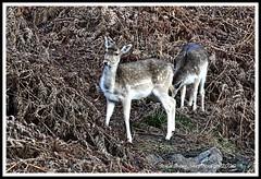 _DSC7151 (nowboy8) Tags: nikon nikond7200 nikond500 bradgatepark bradgate deer bambi oldjohn riverlin monkeypuzzletree rutting scenery leicestershire