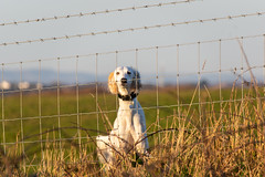 Wrong Side of the Fence (Shastajak) Tags: prince salukicross salukigreyhound fencefriday fence barbedwire grass dog littledoglaughedstories