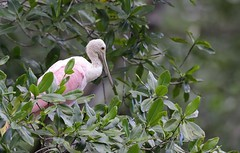 EOS-1D X3193 View Large. Roseate Spoonbill. Tárcoles River. Costa Rica. Central America (E.W. Smit Wildlife) Tags: tourist tourists outdoors outdoor animal avian animals wildanimal canon nature wildlife costarica tárcolesriver ríograndedetárcoles roseatespoonbill spoonbill bird birds wildanimals river water pacificocean centralamerica gitzo gitzotripod g1325mk2 gitzog1325mk2 gitzog1325mk2tripod wimberley wimberleygimbalheadwh200 wimberleygimbalhead wimberleywh200 gimbalhead ef500mmf4lisii ef500mmf4lisiiusm canonef500mmf4lisiiusm telephotolens tripod supertelephotolens canoneos1dx 1dx canon1dx canonef500mmf4lisii canonef14xextenderiii canonef14xiii eos1dx park parks canonef500mmf4lisiiusm14xiii canonef500mmf4lisii14xiii ef500mmf4lisii14xiii 14xiii ef500mmf4lisusm14xiii
