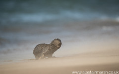 Cape Fur Seal (Alastair Marsh Photography) Tags: africa africanwildlife africanmammal africanmammals mammal mammals animal animals animalsintheirlandscape wildlife travelphotography travel namibia capefurseal seal seals coastline coast walvisbay pelicanpoint