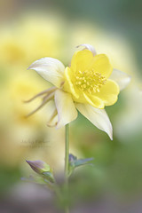 Granny's Bonnet (Jacky Parker Photography) Tags: grannysbonnet aquilegiavulgaris columbine flower spring yellowflower springflowering springgarden closeup selectivefocus focusonforeground portrait beautyinnature purity vitality freshness fragility perennial floralart flowerphotography nikond750 uk