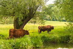 8 (h.dirix) Tags: degeul geul river basin highlanders cow zinc flora graze poison contaminate meadow village epen netherlands dutch
