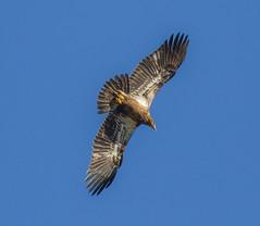 Immature In The Blue Sky (John Kocijanski) Tags: bird birdofprey immaturebaldeagle baldeagle eagle animal wildlife nature wings flight canon400mmf56 canon7d
