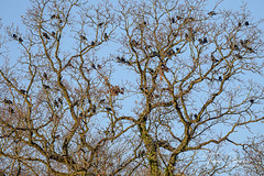 Clattering of Jackdaws. (Trev4 Photography) Tags: birds jackdaw trees wildlifephotograph wildlifephotographs