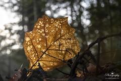 Transparent leaf (gelein.zaamslag) Tags: ilovenature natur naturelovers naturalbeauty fallenleaf winter20192020 forest geleinjansen gold goldenlight nikond5600