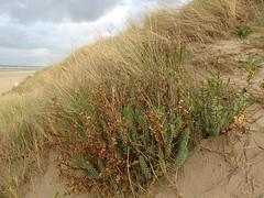 Euphorbia paralias (L'herbier en photos) Tags: euphorbiacées euphorbiaceae euphorbia paralias euphorbe dunes sea spurge lechetrezna marítima hautsdefrance hauts france pa0402 ecoid664 leffrinckouckeplage leffrinckoucke plage nord flandres flandre