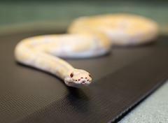 Caine the Ball Python (Simply Col) Tags: ballpython adoptme snake petsnake dof depthoffield