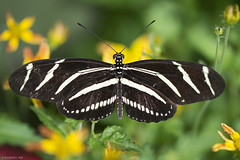 Butterfly 2019-207 (michaelramsdell1967) Tags: butterfly butterflies macro nature animal animals insect insects greeb black white zebra longwing beauty beautiful pretty lovely flowers detail delicate fragile wings upclose closeup bug bugs vivid vibrant garden zen
