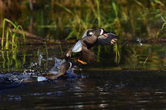 BWTsFighting1 (2)Smaller (2) (Rich Mayer Photography) Tags: duck ducks blue wing winged teal teals animal animals nature water fighting wild life wildlife nikon