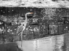 Great Blue Heron (Deepmike70) Tags: wildlife nature desaturated animal bird heron grey water waterbird