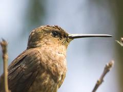 Picaflor gigante (Patagona gigas) (Andres Bertens) Tags: 3432 olympusem10markii olympusomdem10markii olympusm75300mmf4867ii olympusmzuikodigitaled75300mmf4867ii rawtherapee bird picaflorgigante patagonagigas