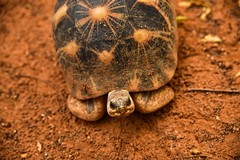 Radiated Tortoise (Rod Waddington) Tags: africa afrique madagascar malagasy radiated tortoise wild animal nature rare endangered endemic wildlife
