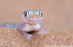 Palmato Gecko (Alastair Marsh Photography) Tags: swakopmund namibia namibdesert desert sand sanddune sanddunes dunes dune africa animal animals animalsintheirlandscape reptile repitle africanreptile africanreptiles gecko geckos palmatogecko