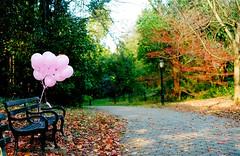 The Bench (Gabriella Ollandini) Tags: balloons pink park fall autumn trees bench 35mm istillshootfilm yashica filmcamera filmisnotdead filmphotography leaves analog analogica analogue nyc brooklyn prospectpark outdoor