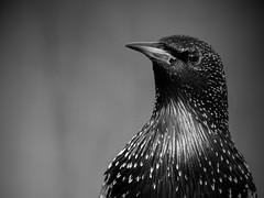 Spreeuw (jandewit2) Tags: spreeuw starling vogel bird natuur nature nikon nederland netherlands natuurmonumenten bw