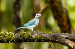 0P7A0737  Blue-gray Tanager, Ecuador (ashahmtl) Tags: bluegraytanager bird tanager songbird thraupisepiscopus santadeo pichinchaprovince ecuador