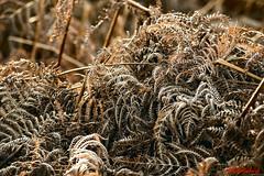 Frosted Braken (2552) (red.richard) Tags: braken frost morning light flora winter nikon d800 cof094 cof094tino cof094mchi cof094mari cof094babe cof094dmnq cof094uki cof094mire