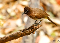 Common Bulbul (Ted Humphreys Nature) Tags: commonbulbul bulbuls okavangodelta botswana africa birds