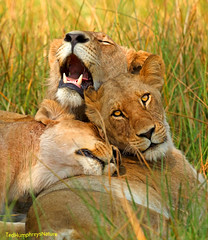 Contentment (Ted Humphreys Nature) Tags: lions animals okavangodelta botswana africa