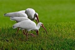 White Ibis (bmasdeu) Tags: white ibis florida bird imperiled species foraging